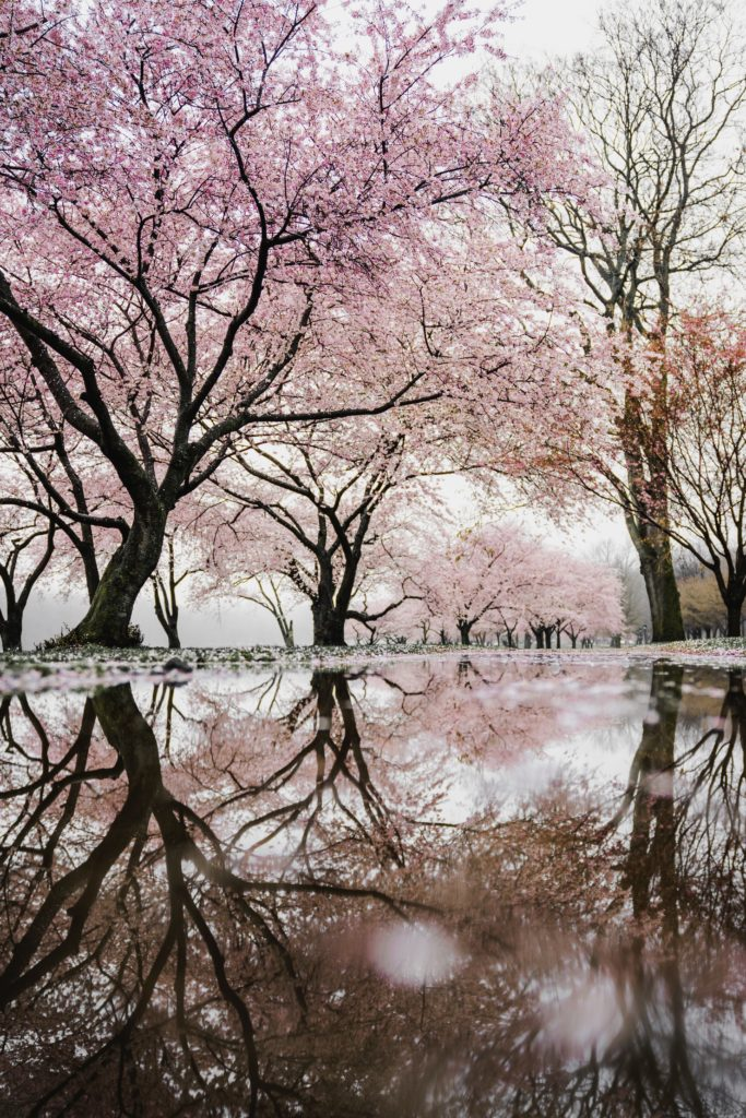 cherry trees reflected in pond