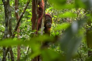 palm oil hurt orangutan